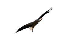 Vol de cigogne d'isolement sur le blanc Image stock