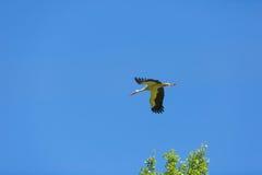Vol de cigogne sur le fond de ciel bleu Photos libres de droits