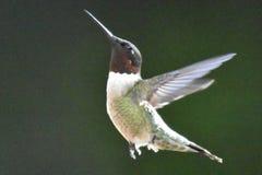 Vol de colibri photo libre de droits
