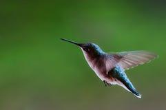 Vol de colibri Images stock