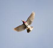 Vol de colombe contre un ciel bleu avec des nuages Photo stock