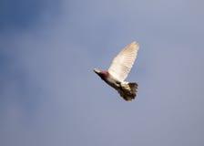 Vol de colombe contre un ciel bleu avec des nuages Images libres de droits