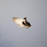 Vol de colombe contre un ciel bleu avec des nuages Photographie stock