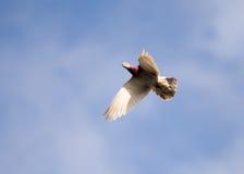 Vol de colombe contre un ciel bleu avec des nuages Images stock