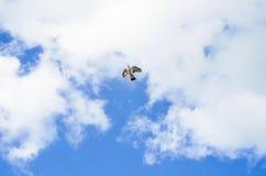 Vol de colombe dans le ciel sur un fond des nuages blancs Photos stock