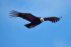Vol de condor andin (gryphus de Vultur) photo libre de droits