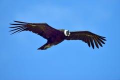 Vol de condor andin (gryphus de Vultur) photos stock