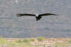 Vol de condor andin (gryphus de Vultur) image stock