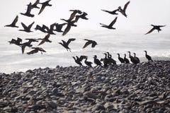 Vol de cormorans Image libre de droits