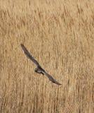 Vol de courlis cendré au-dessus des roseaux photo stock