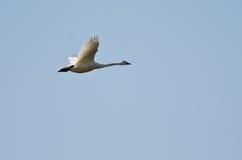 Vol de cygne de toundra dans un ciel bleu image stock