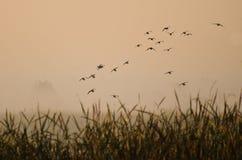 Vol de début de la matinée des canards au-dessus du marais brumeux Images stock