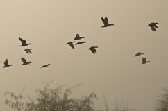 Vol de début de la matinée des canards au-dessus du marais brumeux Photo libre de droits