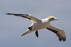 Vol de fou de Bassan par Photos libres de droits