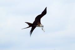 Vol de Frigatebird avec sa capture Images stock