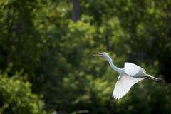 Vol de héron avec la facture ouverte contre le feuillage vert, la Floride Image libre de droits
