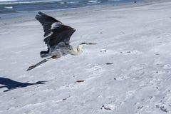 Vol de héron de bleu grand Photos libres de droits
