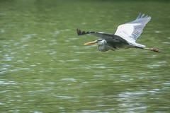 Vol de héron de grand bleu au-dessus de l'eau Photos stock