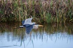 Vol de héron de grand bleu, Savannah National Wildlife Refuge Photographie stock libre de droits