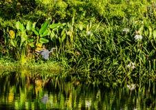 Vol de héron de Tricolored dans le jardin de marais photo libre de droits