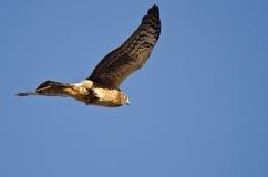 Vol de harrier du nord avec le bâton attrapé dans l'arrière Photographie stock libre de droits