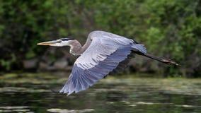 Vol de héron de bleu grand Photo libre de droits