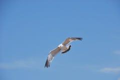 Vol de la mouette sur le fond du ciel bleu Images stock
