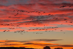 Vol de lever de soleil d'oies de neige Images libres de droits