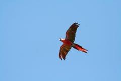 Vol de macaw d'écarlate laissé photographie stock