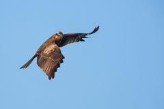 Vol de milan noir Photographie stock libre de droits