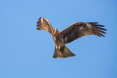 Vol de milan noir Photo libre de droits