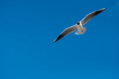 Vol de mouette Images stock