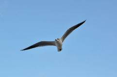 Vol de mouette. Photo stock