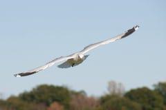 Vol de mouette. Photos libres de droits