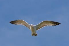 Vol de mouette au-dessus de lac. Image stock