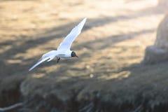 Vol de mouette au-dessus de l'eau Sunny Blurred Background Image stock