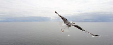 Vol de mouette au-dessus de l'océan photos libres de droits