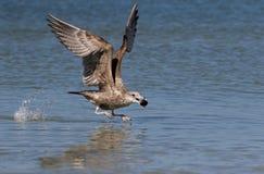 Vol de mouette d'harengs (argentatus de Larus) Photographie stock