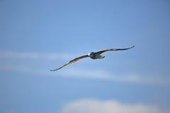 Vol de mouette d'harengs contre un ciel bleu avec des nuages Photo stock