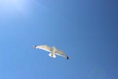 Vol de mouette dans le ciel Image stock