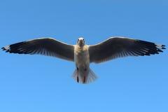 Vol de mouette dans le ciel Photo libre de droits