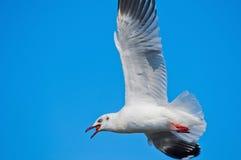 Vol de mouette dans le ciel avec la nourriture dans la bouche et le b Photos stock