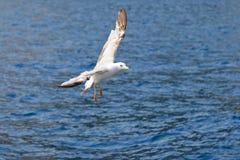 Vol de mouette de mer au-dessus de la mer Photo stock
