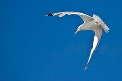 Vol de mouette de mer avec le ciel bleu à l'arrière-plan Image stock