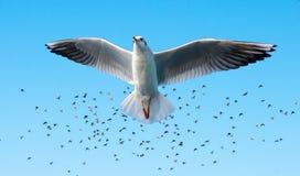 Vol de mouette devant une volée des oiseaux en ciel bleu Photo stock