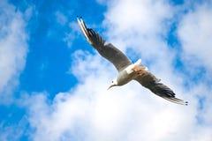Vol de mouette en ciel bleu Photos stock