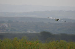 Vol de mouette - lac Naivasha (Kenya, Afrique) Photos stock