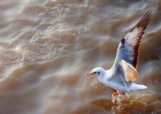 Vol de mouette sur la mer Images libres de droits