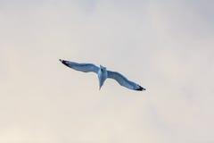 Vol de mouette sur le ciel Image stock