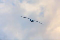 Vol de mouette sur le ciel Images stock